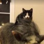 Zwei Katzen, die auf einem Schwein spielen