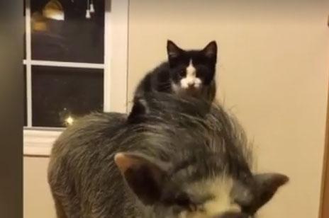 Katze auf Schwein