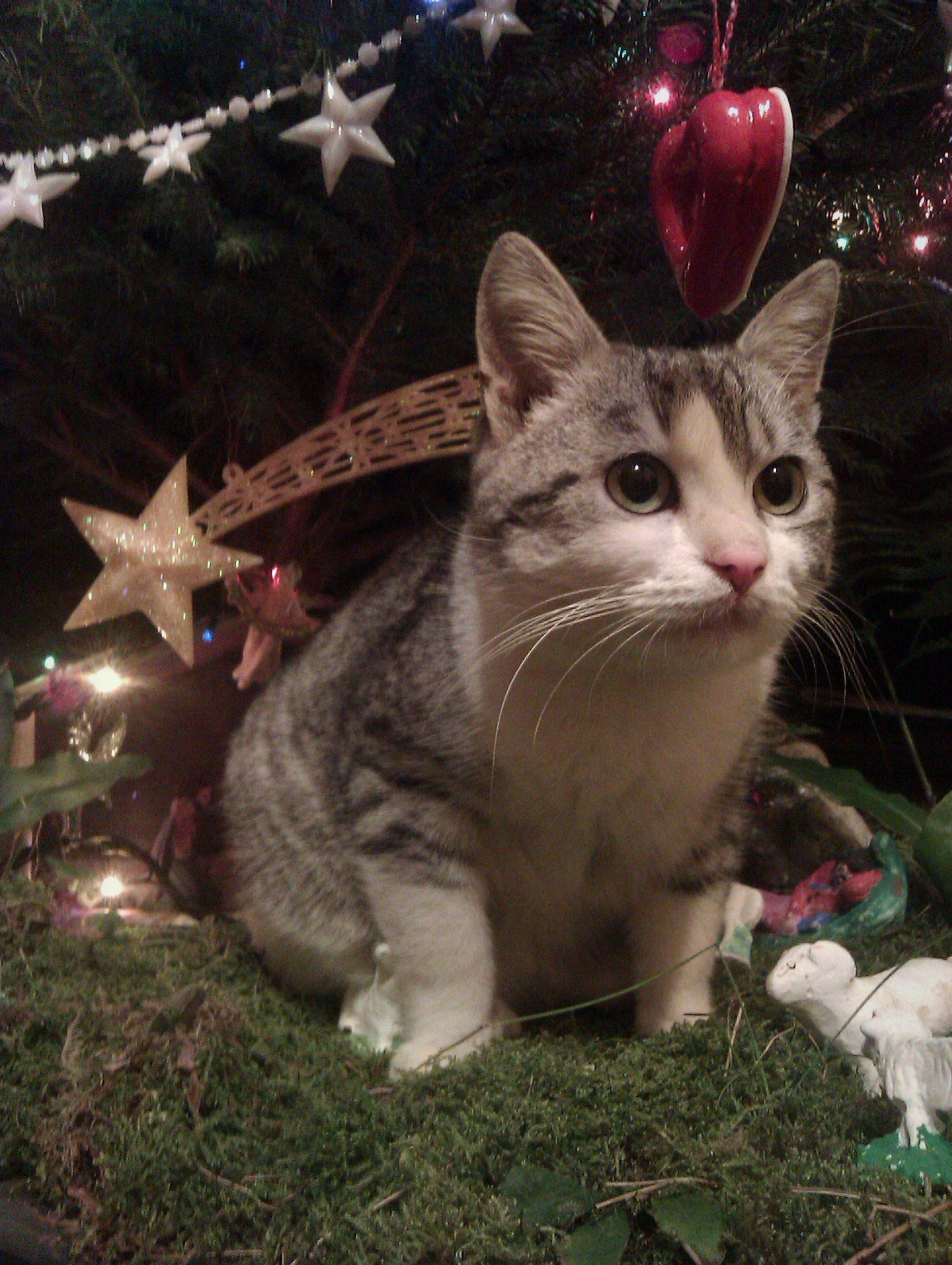 Katze in der Weihnachts-Krippe